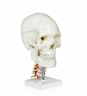 Walter Products Human Skull With Cervical Spine - 4 parts - B10238