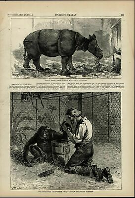 London Zoo Gymnastic Chimpanzee Rhinoceros nice 1874 great old print for display