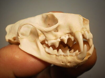 Mink Taxidermy SKULL Real 3 inches across clean Neovison vison