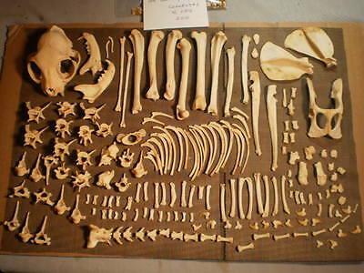 Taxidermy skeleton real cat  dissarticulated clean sorted by bone type