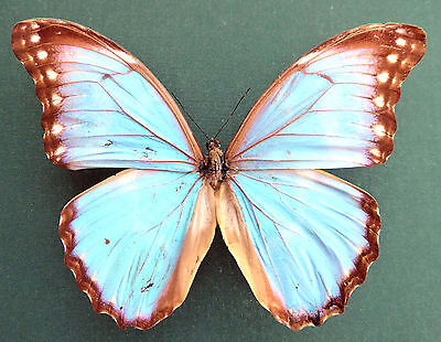 Morpho godartii ssp.lachaumei Gynandromorph??. ex Nord Yungas, Bolivien,  KM3/14