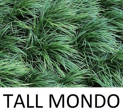 100 TALL mondo grass plants - Guaranteed quality, safe packaging, healthy plants