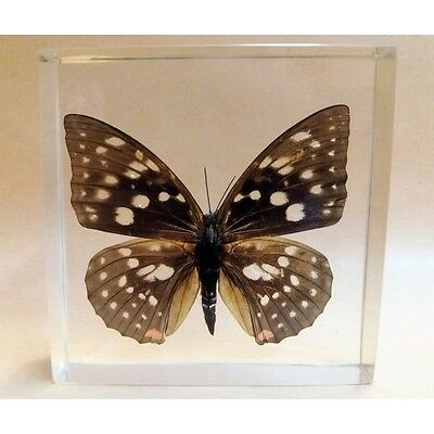 "REAL INSECT - INSETTO SOTTO RESINA ""FARFALLA"" R.1 BUTTERFLY PAPERWEIGHT  9x9 Cm"
