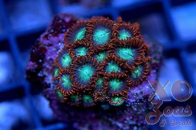 Steal Your Soul Zoas Zoanthids 25 Polyp Soft Coral Colony Frag Zoanthus