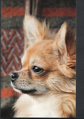 Animals Postcard - Modern Photo Postcard - Dogs - Chihuahua   EE340
