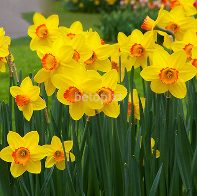 Mixed 400 Narcissus Duo Bulbs Daffodil Plant Flower Seeds Scented Pastel New FR