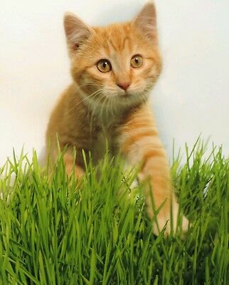 Organic Non-Gmo Sweet Oat Cat Grass 100 seeds  nuitritional purrfect cat treat