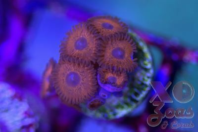 Keds Red Zoas Zoanthids 7 Polyp Frag Plug Soft Coral Zoanthus
