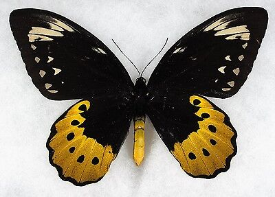 """Insect/Butterfly/ Orn. goliath supremus - Female 7 1/4"""""""