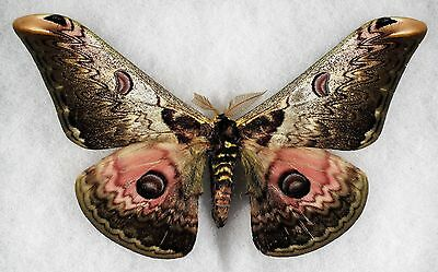 """Insect/Moth/ Moth ssp. - Male 6"""""""