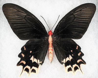 """Insect/Butterfly/ Atrophaneura semperi - Female 4.5"""" Pale Form RARE"""