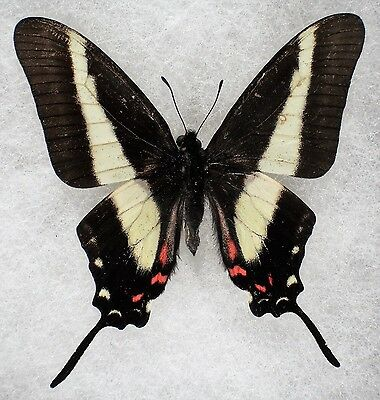 """Insect/Butterfly/ Papilio ssp. - Male 2.5"""""""