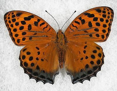 """Insect/Butterfly/ Butterfly ssp. - Male 3"""""""