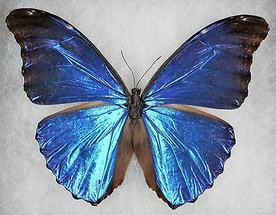 """Insect/Butterfly/ Morpho absoloni - Male 4.5"""""""