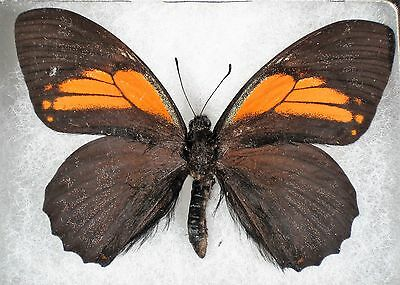 """Insect/Butterfly/ Papilio euterpinus - Male 3.5"""""""