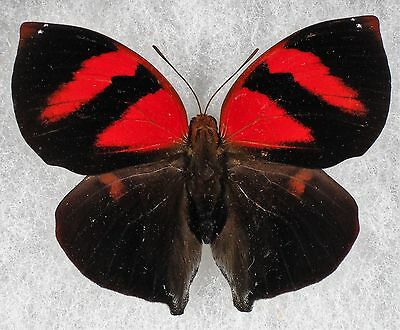 """Insect/Butterfly/ Siderone nemesis - Male 2 14"""""""