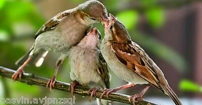 feeding sparrows On Tree Find Food