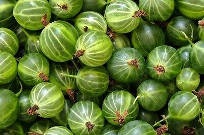 Gooseberry green ball (Kruzhovnik) Seeds Berries Seed