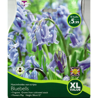 Bluebells Bulb - Taylors Bulbs