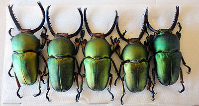 Taxidermy - real papered insects : Lucanidae : Lampima adolphina set 5