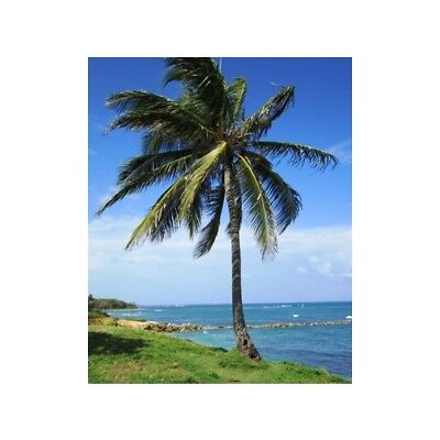 COCONUT PALM Fragrance Oil for Candles, Soaps, Melts - 10ml to 2.5L