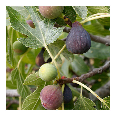 FIG TREE Fragrance Oil for Candles, Soaps, Melts - 10ml to 2.5L
