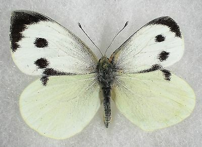 """Insect/Butterfly/ Pieris barssicae - Male Aberration 2"""""""