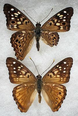 """Insect/Butterfly/ Butterfly ssp. - 2 Male Aberrations 1 3/4"""""""