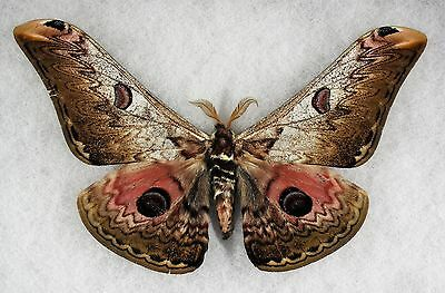 """Insect/Moth/ Saturnia lescoudieri - Male 5.5"""" White Form"""
