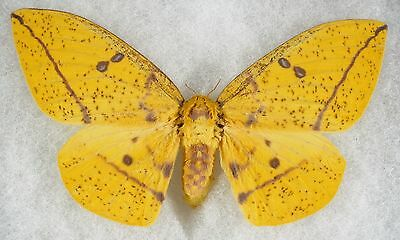 """Insect/Moth/ Eacles imperalis anchicayensis - Female 5.5"""""""