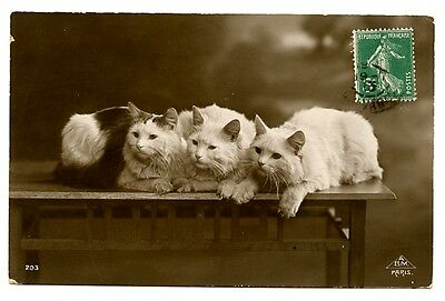 vintage cat postcard real photo lovely trio Turkish Angora cats pose on table