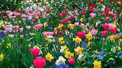 tulips, daffodils, flowers High Quality wall Art poster Choose your Size