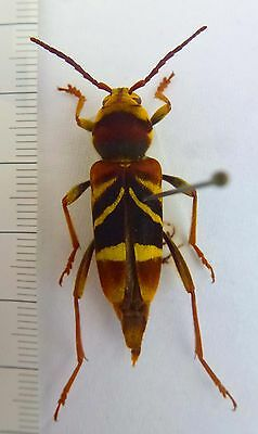 beetles,rare Xylotrechus species  from Malaysia Female  n332