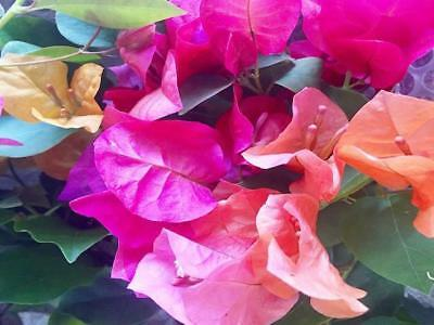 3 Plants | Larger Bougainvillea Assorted Pack Mixed Plants | Climbers