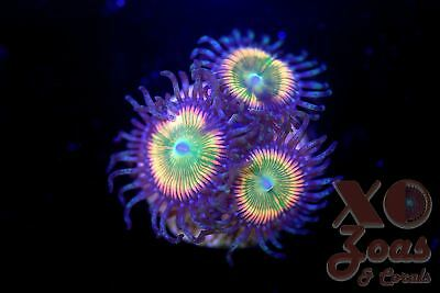 JF Insane Rainbow Palythoa Zoas Zoanthids 3 Polyp Soft Coral Frag High End