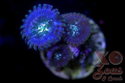 Velociraptor PE People Eater Palythoa Zoa Zoanthid 3 Polyp Soft Coral Frag High