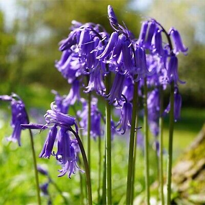 ENGLISH BLUEBELL BULBS | Hyacinthoides Non Scripta | In The Green | IN STOCK