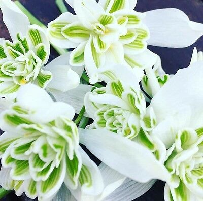 100 DOUBLE SNOWDROP BULBS | Galanthus Nivalis 'Flore Pleno' | In The Green