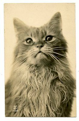 vintage cat postcard real photo beautiful longhaired cat poses