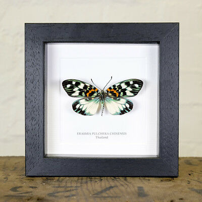 Erasmia Pulchera Chinensis in Box Frame (Asia)  insect taxidermy