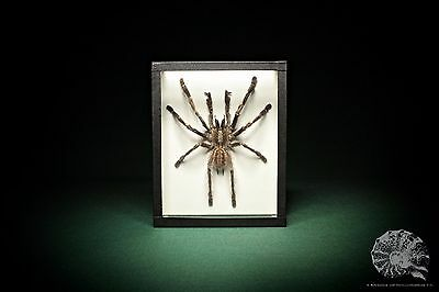 Poecilotheria metallica + Theraphosidae + Ornament Vogelspinne + tiger spider
