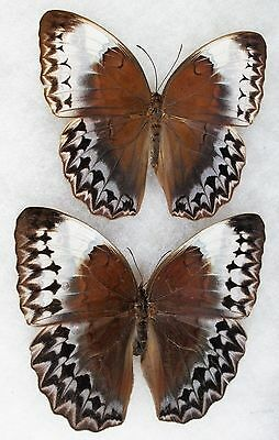 Insect/Butterfly/ Stichophthalma ssp. - Pair 4.5""