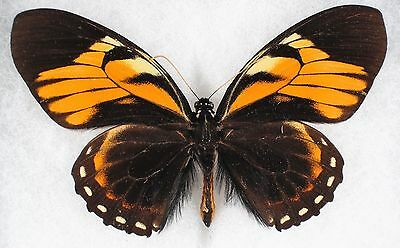 Insect/Butterfly/ Papilio ssp. - Male 4.5""