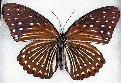 Insect/Butterfly/ Papilio ssp. - Female 4 1/4""