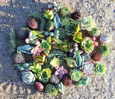 SUCCULENTS  50 Xtra cheap succulent plant cuttings MIX Great colour EXTRA SMALL