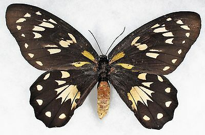 Insect/Butterfly/ Ornithoptera victoriae - Female  7 1/4""