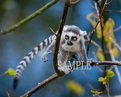 RED TAILED BABY LEMUR Photo