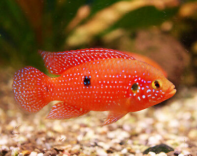(2) Ruby Red Jewel Cichlid (Hemichromis Species) West African Live Tropical Fish