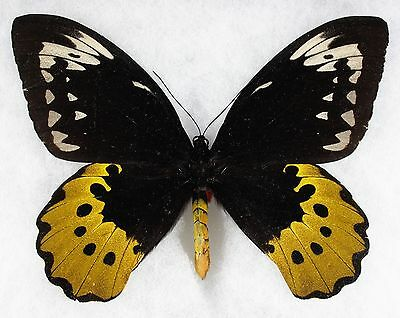 Insect/Butterfly/ Orn. goliath atlas - Female 6 3/4""