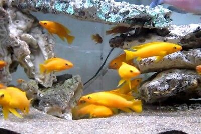 (2) Neolamprologus Dutch Orange Leleupi Cichlid Lake Tanganyika Live Fish